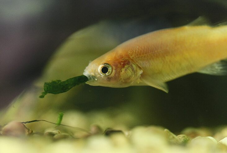 What do minnows eat more facts more easy to catch minnows for Algae eating fish for ponds