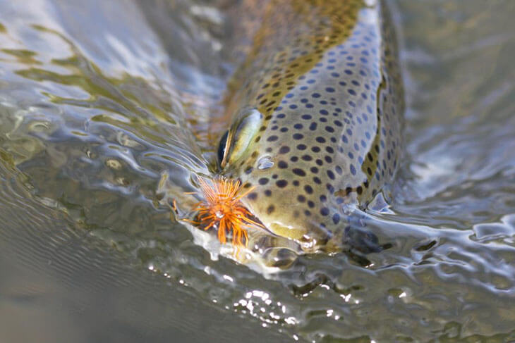 Trout In Murky Water