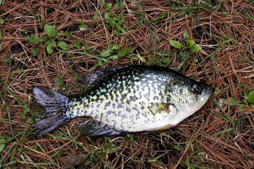 What Is Crappie