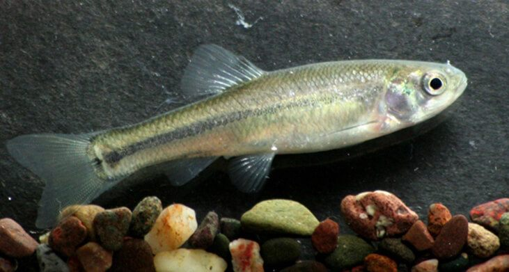 What do minnows eat more facts more easy to catch minnows for Mosquito fish facts