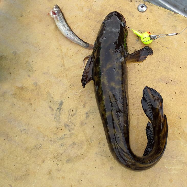 Burbot Fish Caught with Jig and Minnow
