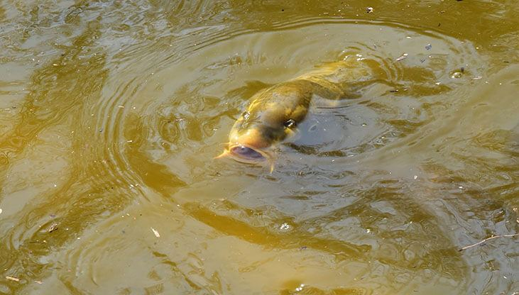 Carp Over The Water