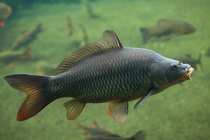 Carp Spawning Facts: What You Need to Know About Carps