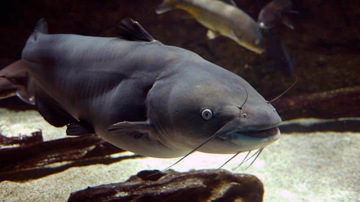 Blue Catfish. via: rbairdpccam/Flickr