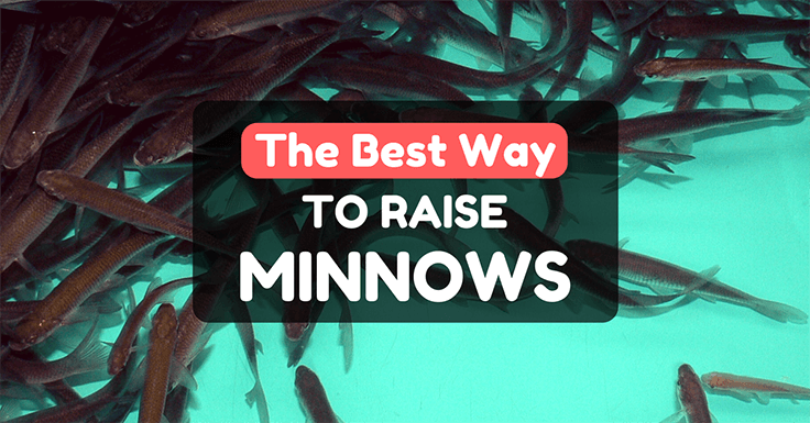 How To Raise Minnows