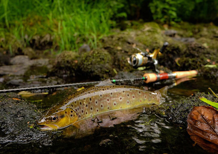 Wild Brown Trout