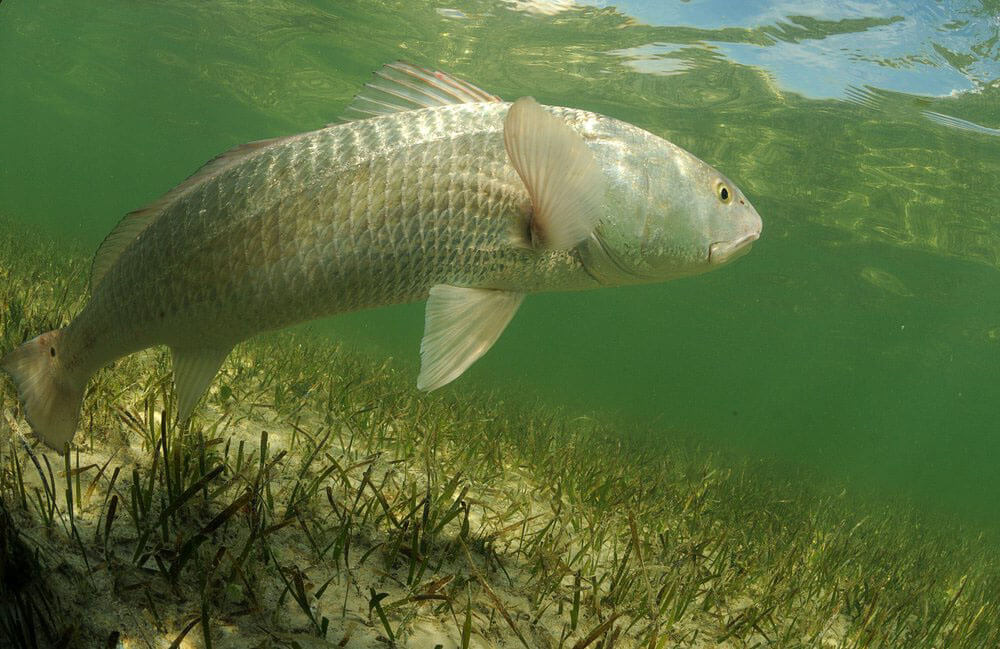 Redfish underwater